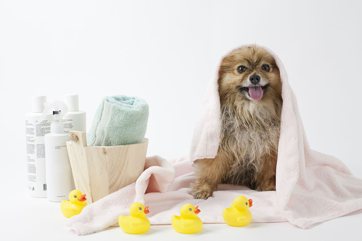 Wet dog in towel with rubber ducks
